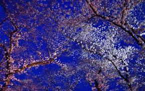Цветы: Cherry, деревья, цветы, флора