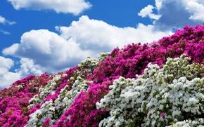 Цветы: azalea, цветы, небо, флора