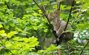 Животные: лесная кошка, дикая кошка, спящая, сон, дерево, на дереве