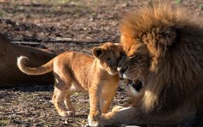 Животные: львы, лев, львёнок, детёныш, отцовство, любовь