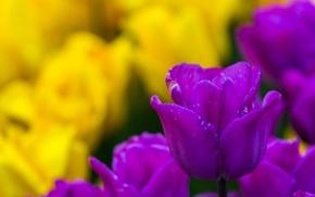 Цветы: тюльпаны, тюльпан, бутон, боке