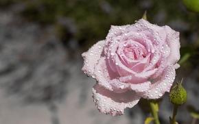 Цветы: роза, бутон, капли, макро