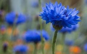 Цветы: василёк, макро, боке