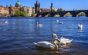 �����: Czech Republic, Prague, �����, Vltava Swans