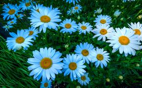 Цветы: ромашки, цветы, флора