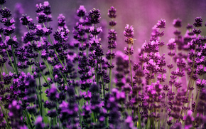 �����: lavender, �������, �����