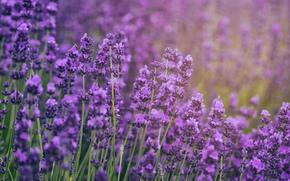 Макро: lavender, лаванда, макро