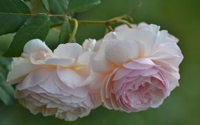 Цветы: розы, бутоны, лепестки, макро