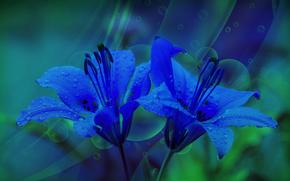 Цветы: лилии, blue lily, флора