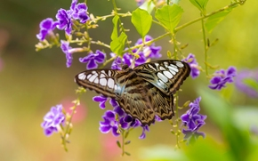 Макро: Сильвия Тигровая, бабочка, дуранта, цветы, макро