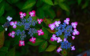 Цветы: гортензия, цветки, соцветия, макро