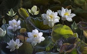 Цветы: lotus, лотусы, цветы, флора