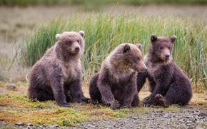 Животные: Katmai National Park, Alaska, медвежата, медведи
