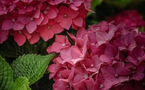 Цветы: гортензия, соцветия, макро