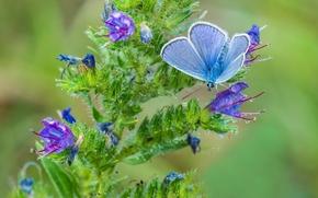 Макро: голубянка, бабочка, цветок, макро
