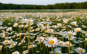 Цветы: ромашки, луг, природа, лето