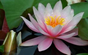 Цветы: Water, Lily, лилия