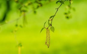Макро: ветка, листья, березовые сережки