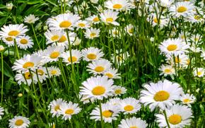 Цветы: поле, ромашки, макро