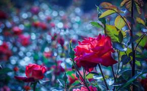 Макро: ветки, листья, цветы, роза, макро
