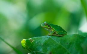 Макро: лист, лягушка, макро