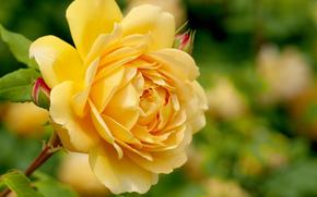 Цветы: роза, цветок, флора, макро