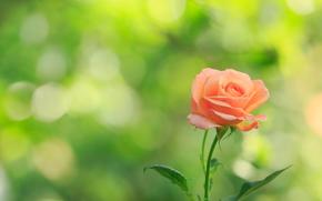 Макро: роза, цветок, макро
