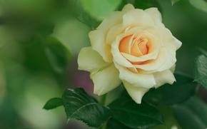 Цветы: роза, флора, макро, цветок