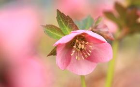 Макро: Cherry, цветок, флора, макро