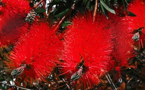 Цветы: Bottlebrush, Callistemon, Каллистемон