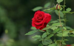 Цветы: роза, флора, цветы