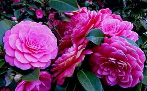 Цветы: camellia, цветы, флора