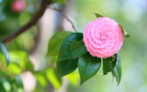 Цветы: camellia, камелия, флора