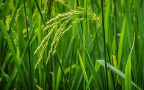 Макро: Rice, трава, растения, макро