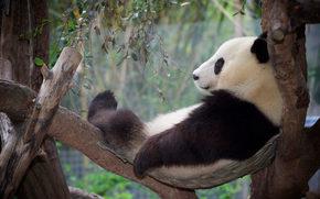 Животные: панда, отдых, релакс, дерево
