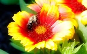 Макро: gallardia, цветок, шмель, макро