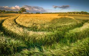 Пейзажи: поле, колосья, деревья, горизонт, пейзаж