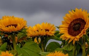 Цветы: подсолнухи, солнышки, поле