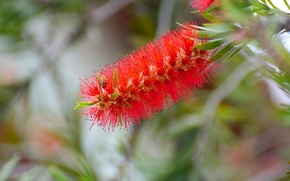Цветы: Bottlebrush, Callistemon, Каллистемон, соцветие, пчела, макро
