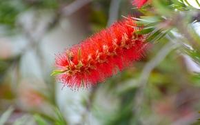 Цветы: Bottlebrush, Callistemon, Каллистемон, соцветие, пчела, макро