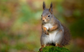 Животные: белка, мох, боке