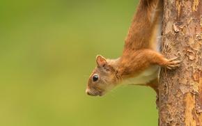 Животные: белка, рыжая, дерево