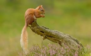 Животные: белка, рыжая, хвост, вереск, коряга
