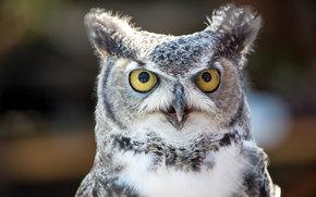Животные: сова, птица, глазища, взгляд