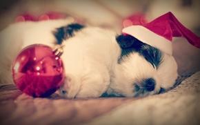 Животные: Ши-тцу, собака, щенок, спящий, сон, колпак, шарик, малыш