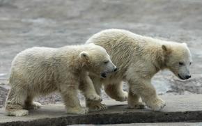 Животные: медвежата, polar, bear