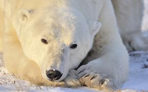 Животные: поза, портрет, polar bear