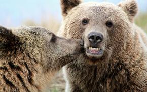 Животные: медведи, животные, поцелуй