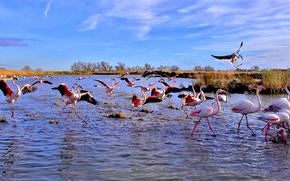 Животные: flamingo, озеро, фламинго, панорама