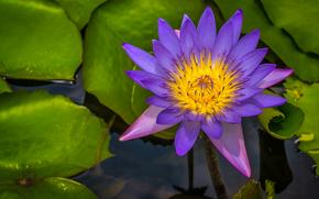 Цветы: Water Lily, Водяная лилия, цветок, флора